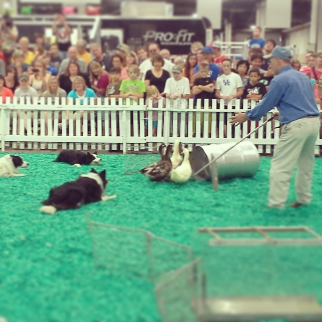 The duck-herding dogs always steal the show.