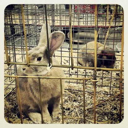 KyFair13_rabbit